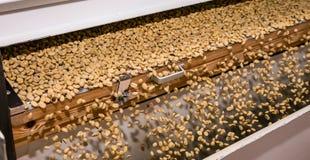 Rå sortering för kaffeböna och bearbeta i en fabrik arkivbild