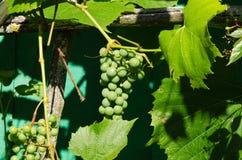 Rå unripe grön grupp av druvor i sommar Royaltyfria Bilder