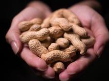 Rå unshelled jordnötter stänger sig rymt kupat i grund fokus för kvinnliga händer med svart bakgrund royaltyfri bild