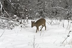 Råbock i vinter Arkivbilder