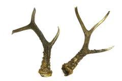 Råbockhorn på kronhjorttrofé Arkivbilder