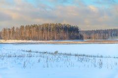 Rådjur betar i snowen Arkivfoton