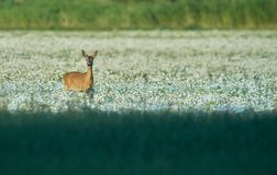 Rådjur i fält/äng Djurliv löst djur Arkivbild