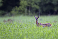 Rådjur i misten Fotografering för Bildbyråer