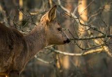 Rådjur i skog med träd i bakgrund Arkivfoto