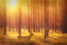 Rådjur i skog på soluppgång royaltyfri fotografi
