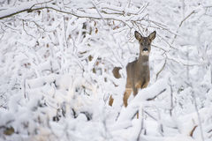 Rådjur i snön under vinter Royaltyfri Fotografi
