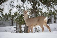 Rådjur i vinter arkivbilder