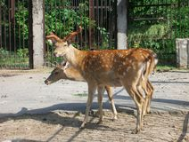Rådjur i zoo Royaltyfri Foto
