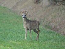 Rådjur med horn på kronhjort i fältet royaltyfri fotografi