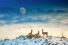 Rådjur på kullen royaltyfri foto