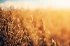 Rågfält i solskenet Arkivfoton