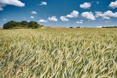 Rågfält och blå himmel Royaltyfri Bild