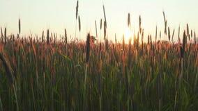 Rågfält på solnedgången stock video