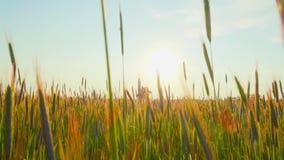 Rågfält på solnedgången lager videofilmer