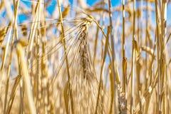 Råggräsfält Mogna kornspikelets Räkningsskörd och en foderskörd Jordbruks- begrepp arkivbild