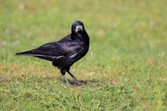 Råka (Corvus Frugilegus) Arkivfoto