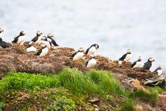 Råkkoloni för atlantisk lunnefågel, Newfoundland, Kanada ljus bakgrund Arkivbilder