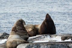 RåkkoloniSteller sjölejon eller nordlig sjölejon Avacha fjärd, Kamchatka Arkivfoto