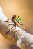 Rånarefluga Madagascar Arkivfoto