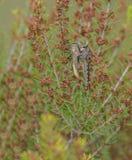 Rånarefluga med den preyed gräshoppan Arkivbild