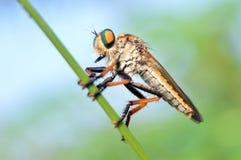 Rånarefluga på en ogrässtam arkivbild