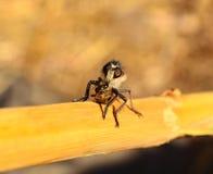 Rånarefluga som jagar ett litet bi under dess jordluckrare Royaltyfria Bilder