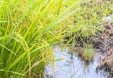 Råriers, risväxt i fält och droppar av regnvatten Arkivfoton