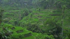 Rårisfält medan tropiskt regn Regn som faller på terrasserad risfält i Sapa, Vietnam Jordbruks- och korn lager videofilmer