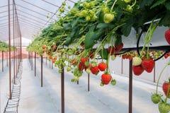 Rått av jordgubbar Royaltyfria Bilder