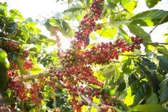 Rått kaffebönakörsbär Arkivbild