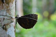Rått latexgummi i gummiträdträdgården Fotografering för Bildbyråer