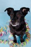 Réception noire de chien terrier Photo libre de droits