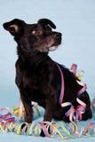 Réception noire de chien terrier Images libres de droits