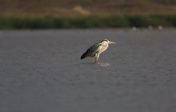 Réchauffage de Grey Heron Photo libre de droits