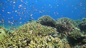 Récif coralien avec l'abondance des poissons banque de vidéos