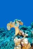 Récif coralien avec le corail de cuir de champignon en mer tropicale, underwa Photos stock
