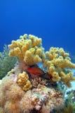 Récif coralien avec le grand corail mou et les poissons exotiques rouges bleu-repérés, eau du fond Photographie stock
