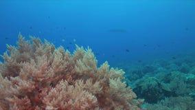 Récif coralien avec le Manta Ray 4k banque de vidéos