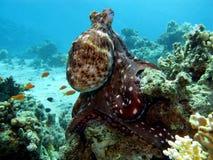 Récif coralien avec le poulpe photographie stock