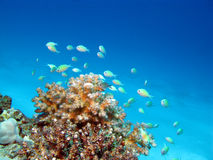 Récif coralien avec les poissons exotiques au fond de la mer tropicale, und Images stock