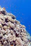 Récif coralien avec les poissons exotiques en mer tropicale, sous-marine Images libres de droits