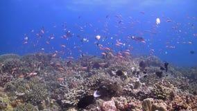 Récif coralien coloré avec des bannerfish banque de vidéos