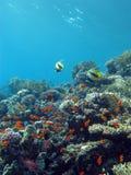 Récif coralien coloré avec les poissons exotiques au fond de la mer tropicale Photographie stock libre de droits
