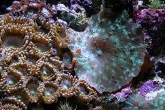 Récif coralien d'aquarium d'eau de mer Photo libre de droits