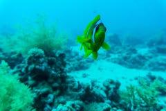 Récif coralien de beau modèle abstrait sous-marin et une paire de poissons jaunes de papillon Photographie stock libre de droits