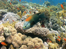 Récif coralien de la Mer Rouge Photos stock