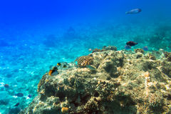 Récif coralien de la Mer Rouge Photos libres de droits