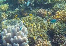 Récif coralien de poissons bleus et jaunes Photo sous-marine d'animaux tropicaux de bord de la mer Photographie stock libre de droits