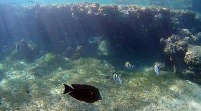 Récif coralien de semicolor de tache floue en Mer Rouge Photo stock